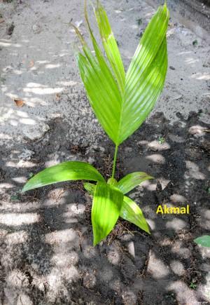 Areca Nut Palm - Akmal