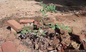 Bidi Leaf Tree
