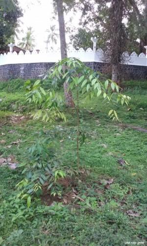 Sri Lankan Ironwood